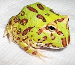 Green  Pac Man Frog, Baby (ceratophrys cranwelli)