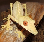 Lined Leaftail Gecko (uroplatus lineatus)
