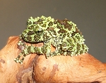 Vietnam Mossy Frog (theloderma corticale)