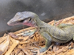 Peach Throat Monitor, Small (varanus jobiensis)