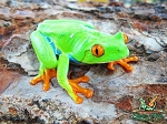 Red Eye Tree Frog (agalychnis callidryas)
