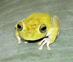 Emerald Eye Tree Frog (hypsiboas crepitans)