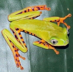 Super Tiger Leg Monkey Tree Frog (phyllomedusa tomopterna)