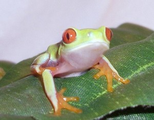 Red Eye Tree Frog, Baby (agalychnia callidryas)